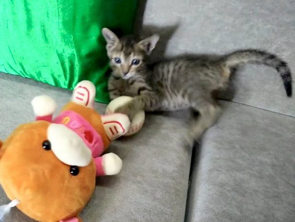 Cat Attacking Toy Animal