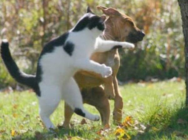 Cat Punching Dog