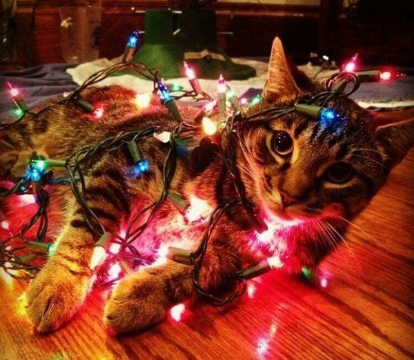 Cat Destroying Christmas String Lights