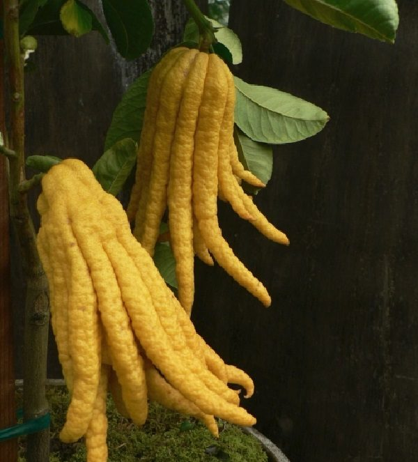 Buddha's Hand (Citrus medica)