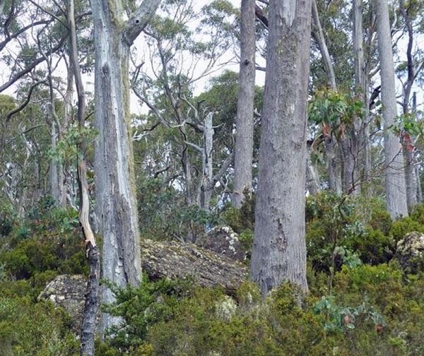 Alpine Ash Tree