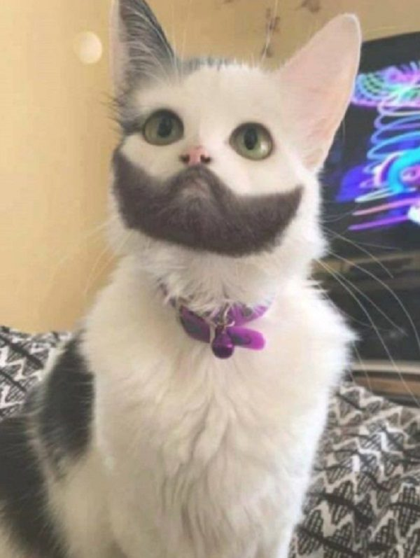 Cat With Well Groomed Beard