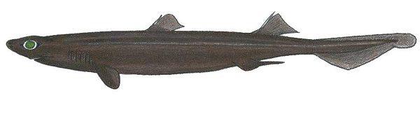 Granular Dogfish