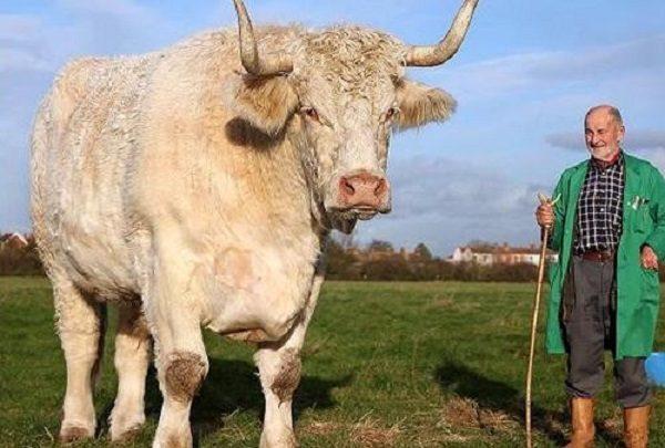 Field Marshall, The World's Tallest Bull