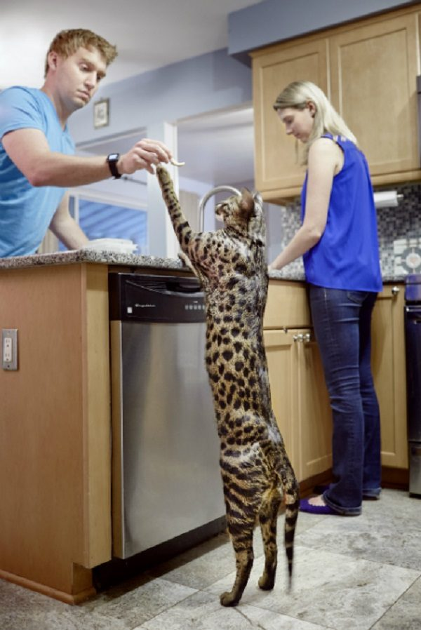 Arcturus, The World's Tallest Cat