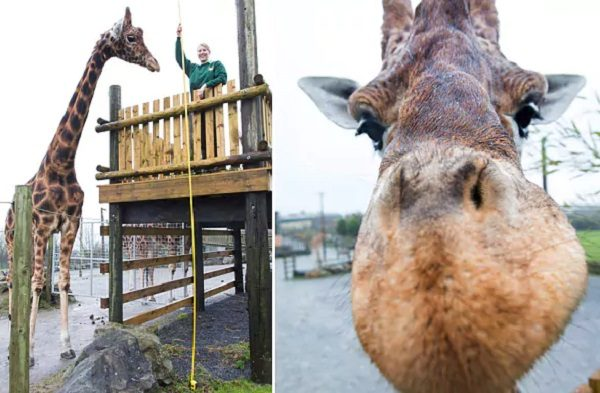 Zulu, The World's Tallest Giraffe