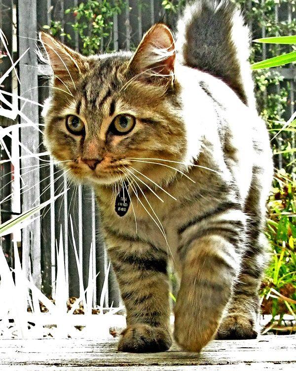American Bobtail Cat
