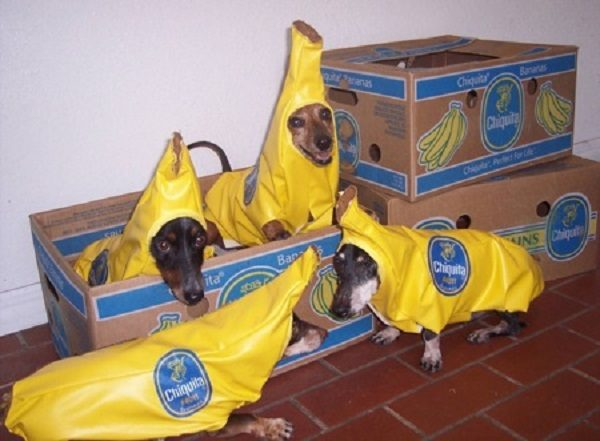 Dogs Inside a Box of Bananas
