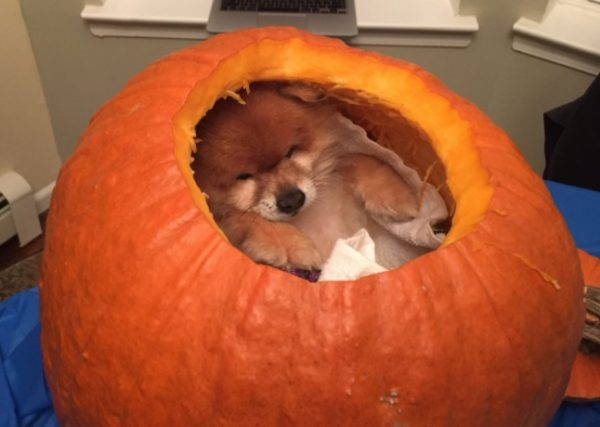 Dog Inside a Pumpkin