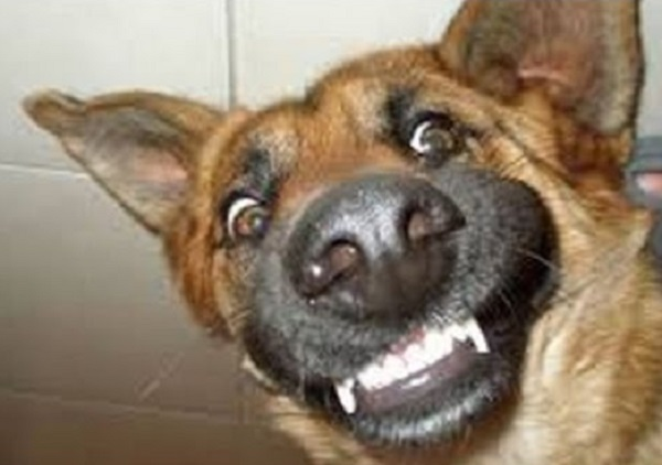 Funny German Shepherd