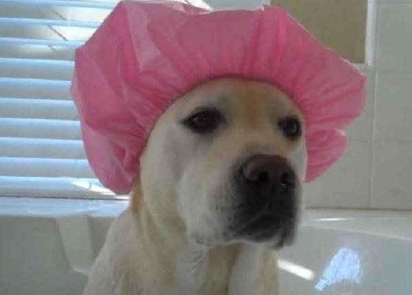 Funny Labrador