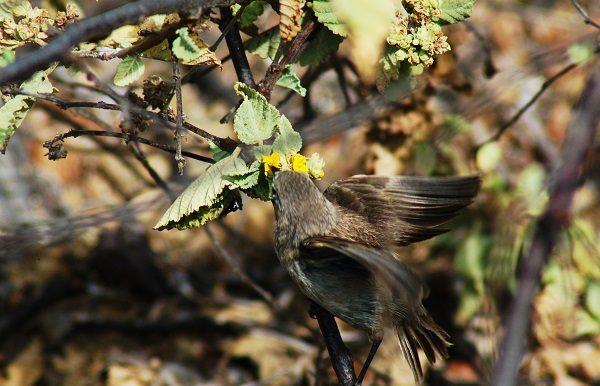 Vampire Ground Finch