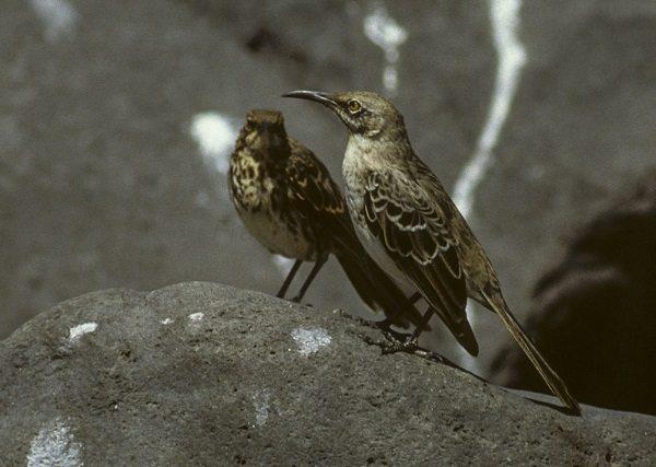 Hood Mockingbird Bird