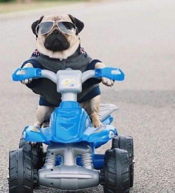 Dog Riding a Quadbike
