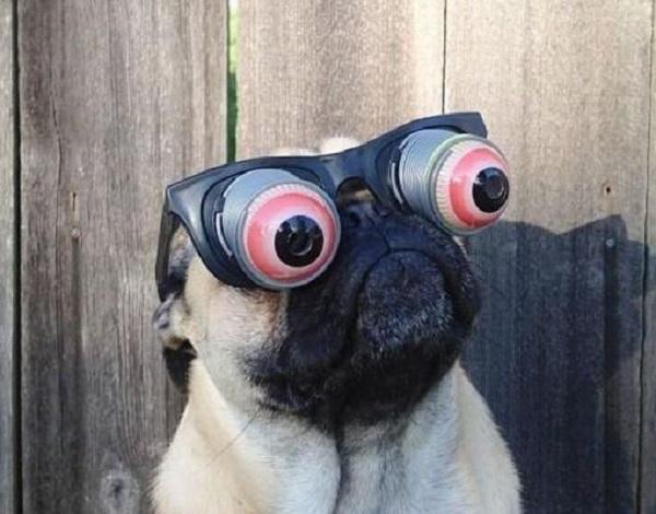 Pug Wearing Funny Glasses
