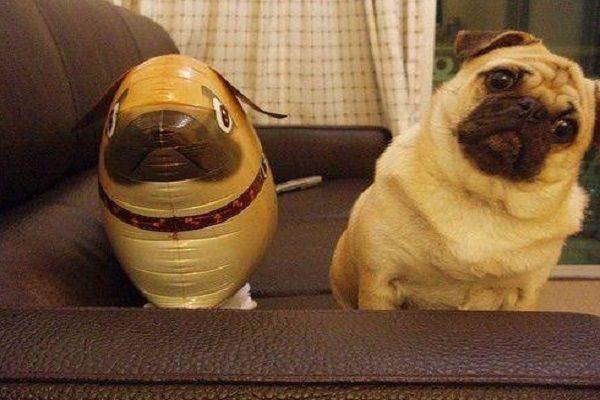 Pug Next to Pug Balloon