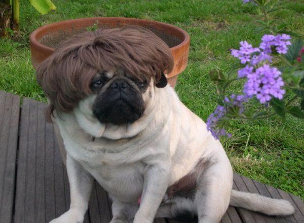Pug Wearing a Wig