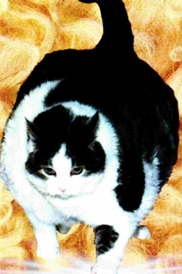 Himmy, The World's Fattest Cat