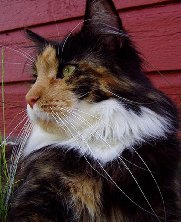 Missi, the Longest Whiskers on a Domestic Cat