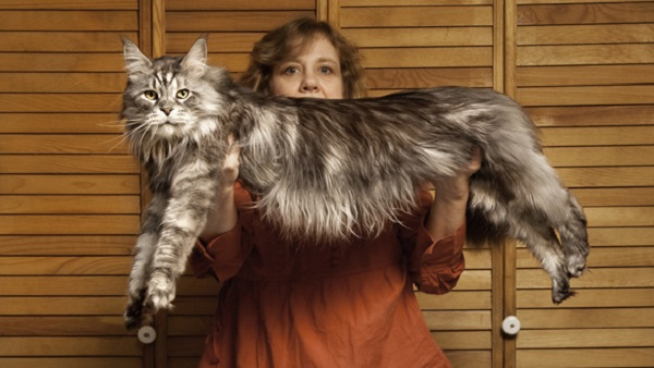 Stewie, the World's Longest Domestic Cat