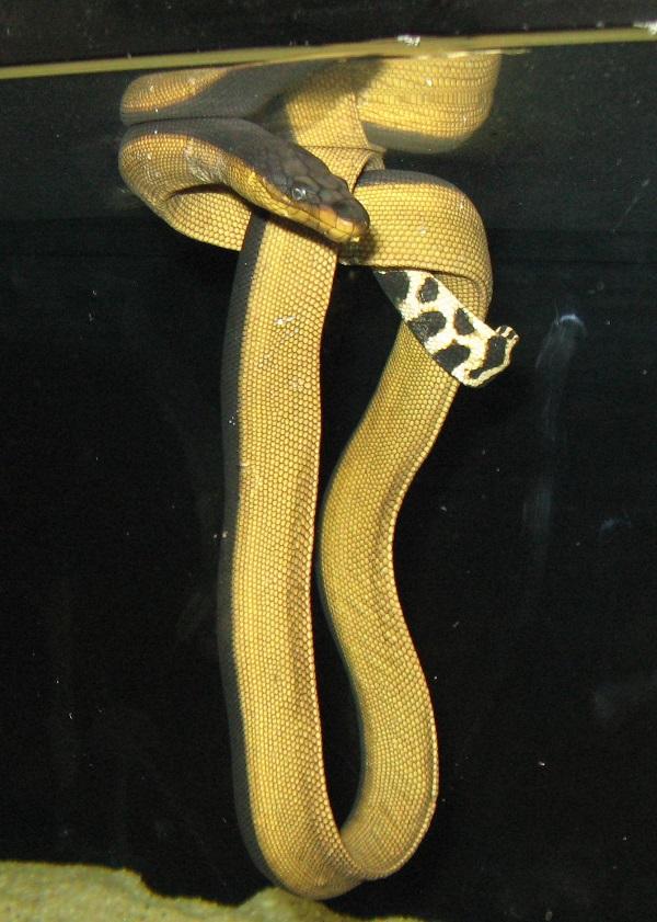 Yellow Bellied Sea Snake