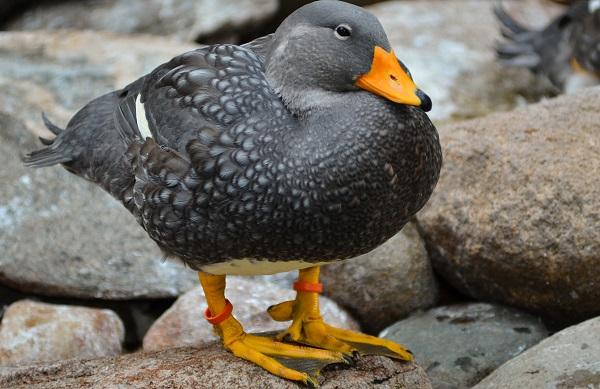 Fuegian steamer duck