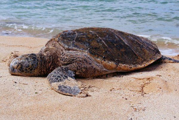 Pacific Leatherback Turtle