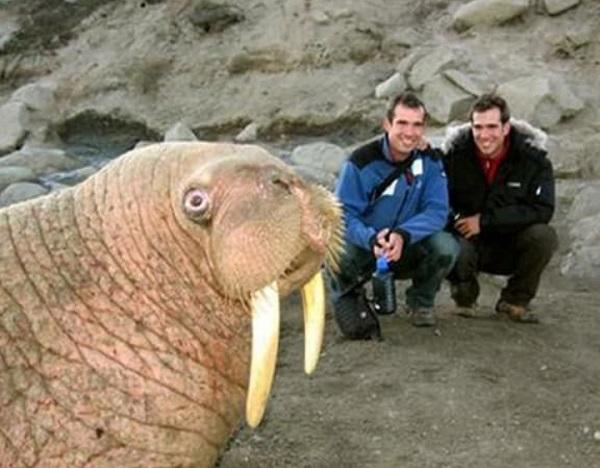 Walrus Photobomb