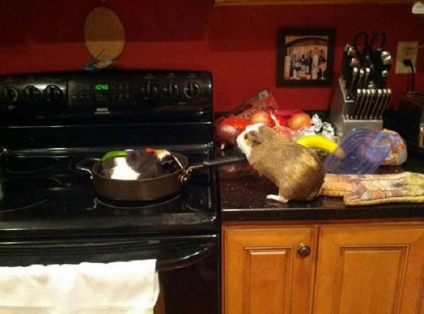 Guinea Pigs Cooking Food