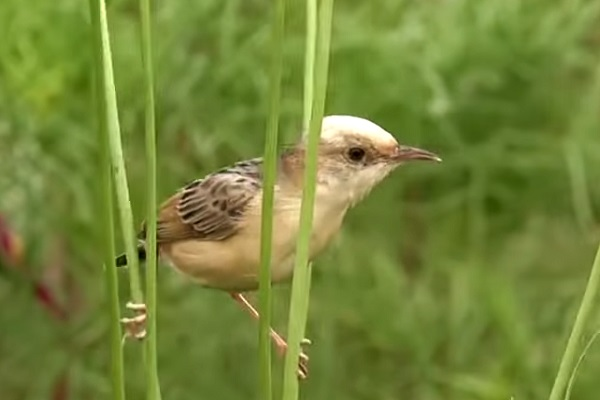 The Golden-headed Cisticola