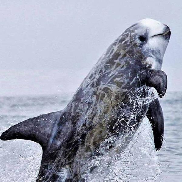 Risso's Dolphin (Grampus griseus)