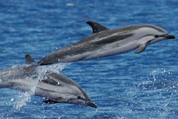 Striped Dolphins (Stenella coeruleoalba)