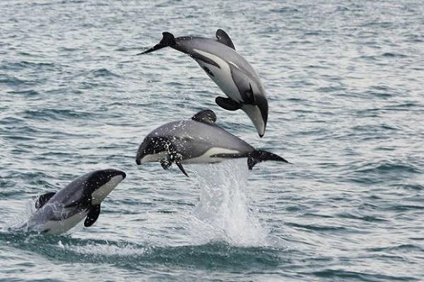 Māui's dolphin (Cephalorhynchus hectori maui)