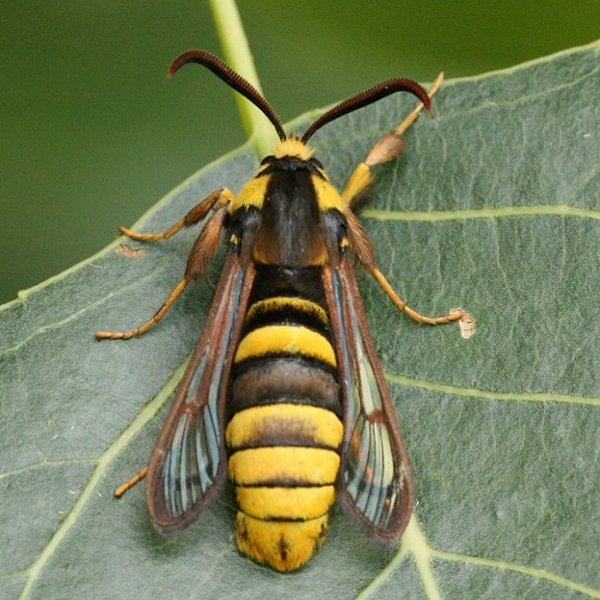 Hornet Moth - Sesia Apiformis