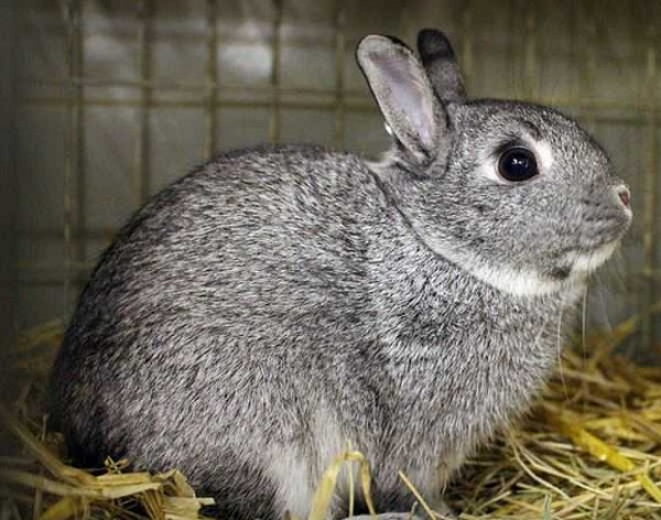 Chinchilla Rabbits (Lagomorphs)