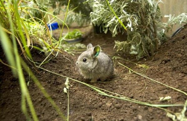 Columbia Basin Pygmy Rabbit (Brachylagus idahoensis)