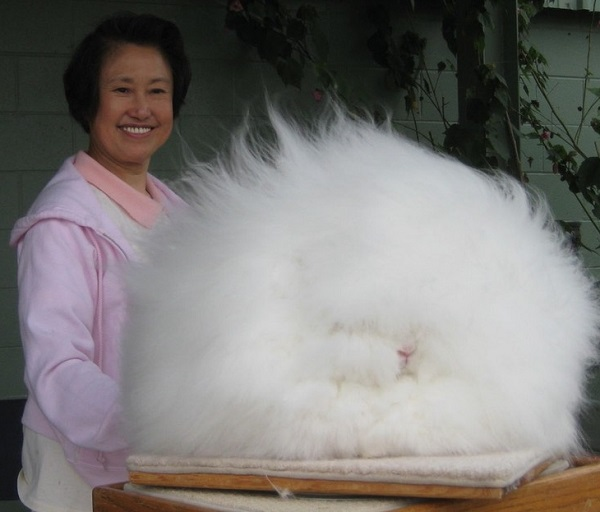 Giant Angora Rabbits (Oryctolagus Cuniculus)