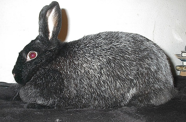 Silver Fox Rabbit (Oryctolagus cuniculus)