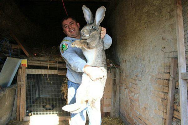 Flemish Giant Rabbit (Oryctolagus cuniculus)