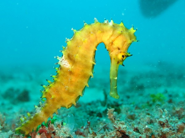 The Giant Seahorse (Hippocampus ingens)