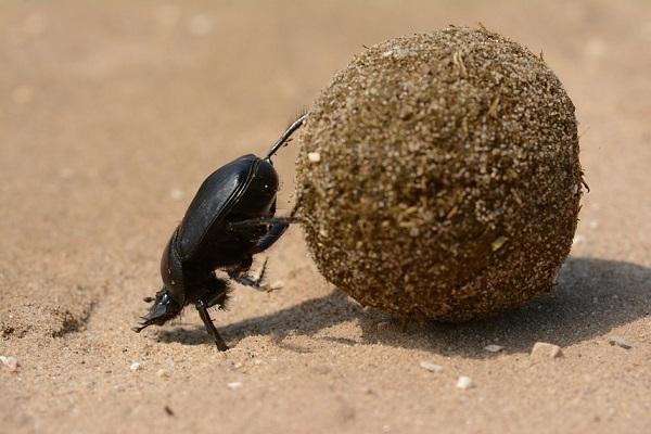 Super Strength - Dung Beetle