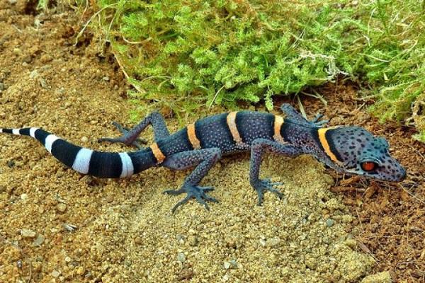 Chinese Cave Gecko (Goniurosaurus hainanensis)