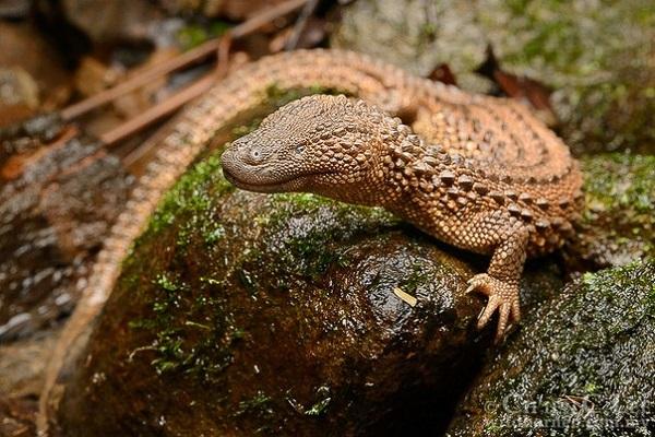 Earless Monitor Lizard (Lanthanotus borneensis)