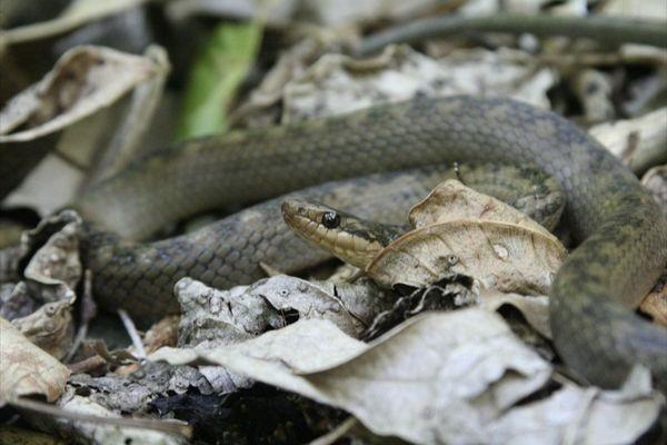 St. Lucia Racer (Erythrolamprus ornatus)
