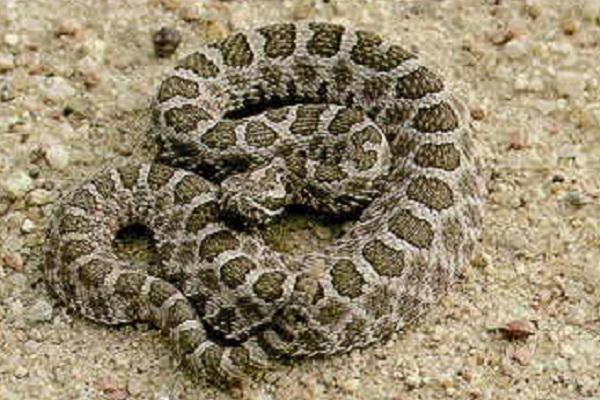 Eastern Massasauga Rattlesnake (Sistrurus Catenatus)