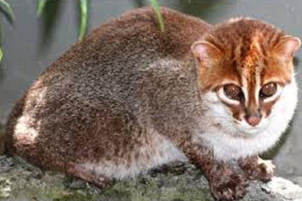 The Flat-Headed Cat