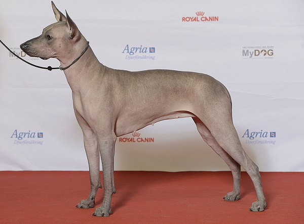 The Xoloitzcuintli