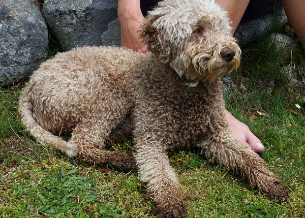 The Lagotto Romagnolo