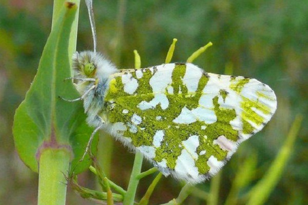 The Island Marble Butterfly
