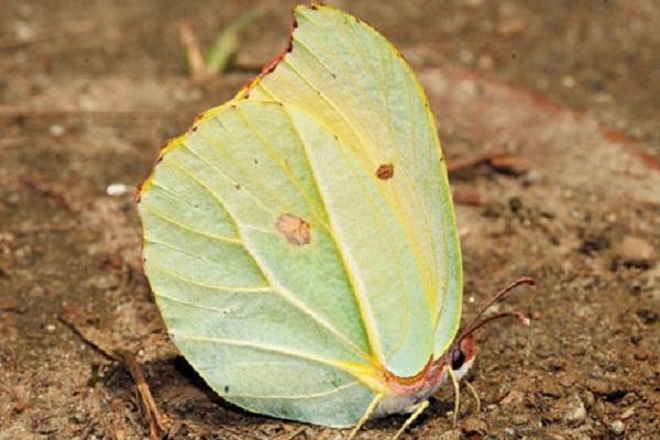 The Tibetan Brimstone Butterfly